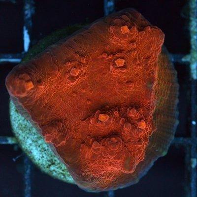 echinophyllia