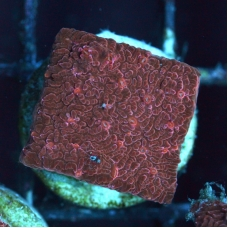 "Lithophyllon red (frag SIZE ""S"")"