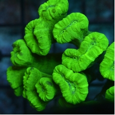 "Caulastrea ""Neon"" 1 head"