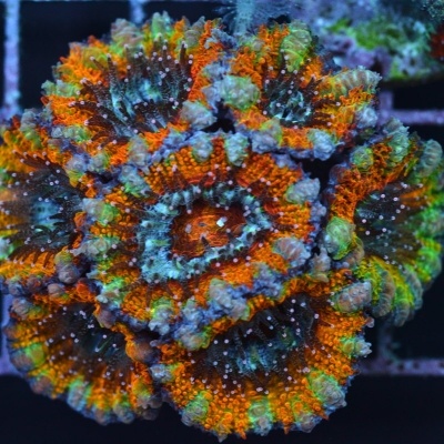 "Acanthastrea Lordhowensis ""ULTRA"""