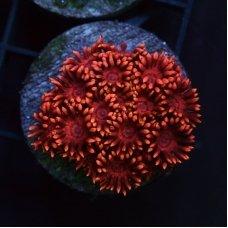 Goniopora pink  frag
