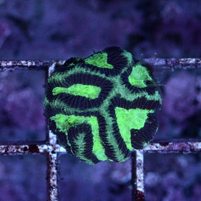 Platygyra (Australia)  frag