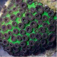 Plesiastrea Green-Violet (frag 3-4 cm)